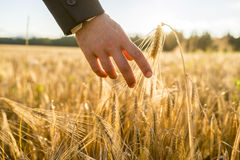 Closeup view of male hand in business suit touching a golden wheat ear. Growing in a field lit by a bright sun. Conceptual of environmental care and protection stock images