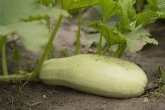 Closeup view of mature zucchini Royalty Free Stock Photography