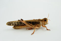 Closeup view of a migratory locust - ready to jump. Closeup view of a single migratory locust (locusta migratoria) - ready to jump Royalty Free Stock Images