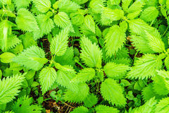 Closeup view of nettle field Stock Image