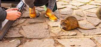 Closeup view of nutria rat animal. Tanned nutria is playing with tourist and is waiting for feeding. Wildlife animal is living. With people in big city stock images