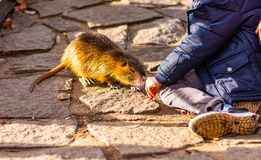 Closeup view of nutria rat animal. Tanned nutria is playing with tourist and is waiting for feeding. Wildlife animal is living. With people in big city stock photo