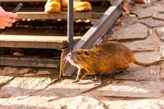 Closeup view of nutria rat animal. Tanned nutria is playing with tourist and is waiting for feeding. Wildlife animal is living. With people in big city stock image
