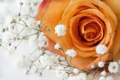 Closeup view orange rose Royalty Free Stock Photography