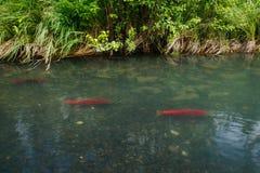Closeup view of orange salmon swimming to spawning ground Alaska stock photos