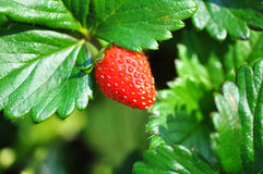 Sweetie variety of strawberry fruit plant & bush. A closeup view of an organically grown strawberry plant in a country garden with a strawberry fruit hanging off royalty free stock images