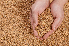 Closeup view of Pale Pilsener Malt Grains in hands. Ingredient f. Or beer. Background texture. Ideal for commercial. Backdrop image Stock Image