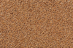 Closeup view of Pale Pilsener Malt Grains. Ingredient for beer. Background texture. Ideal for commercial. Backdrop image Stock Image