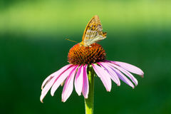 Closeup view of Peacock Butterfly on flower, green bokeh background Royalty Free Stock Image