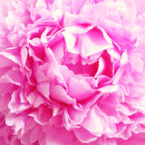 Closeup view of peony flower Stock Photos
