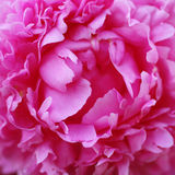 Closeup view of peony flower Royalty Free Stock Image
