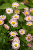 Closeup view of pink daisy flowers in garden Stock Images