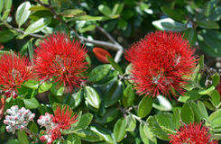Closeup View of Pohutukawa Flowers in Summer. Stock Image