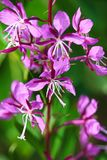 Closeup view of purple fireweed flowers on a green background Stock Images