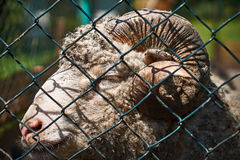 Closeup view of a ram through a mesh fence stock images