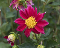 Closeup view of red dahlia bloom Stock Image
