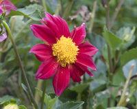 Closeup view of red dahlia bloom Royalty Free Stock Photography