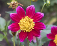 Closeup view of a red dahlia bloom Stock Images