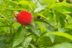 Closeup view of red exotic healthy Tibetan raspberry with green leaves. In nature royalty free stock photo