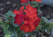 Closeup view red geranium blooms. Pictured is a closeup view of red geranium blooms in Puglia, Italy.  Geranium is a genus of 422 species of flowering plants Stock Image