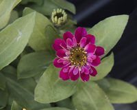 Closeup view red purple Zinnia profusion bloom. Pictured is a closeup view of a reddish purple Zinnia profusion bloom. Zinnia is a genus of plants of the stock images
