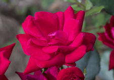 Closeup view of a red rose in bloom Royalty Free Stock Photo