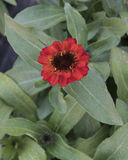 Closeup view reddish orange Zinnia profusion bloom. Pictured is a closeup view of a reddish orange Zinnia profusion bloom. Zinnia is a genus of plants of the stock photography