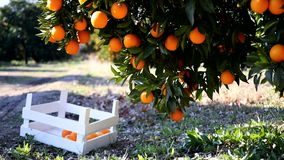 Ripe oranges on a tree branch. Closeup view on ripe oranges on a tree branch and in the wooden basket under it, Turkey orange gardens stock footage