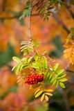 Closeup view of the rowan tree in beautiful autumn colors Stock Photos