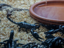 Closeup view of a scorpion. Closeup view of a black scorpion stock images