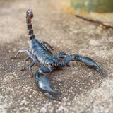 Black scorpion. Closeup view of a scorpion in nature Royalty Free Stock Photo