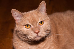 Closeup view of a seriously looking ginger cat. With long whiskers and yellow eyes Royalty Free Stock Image