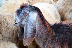 Closeup view on a sheep. On a field Stock Photos