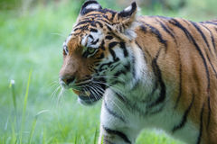 Closeup view of a siberian tiger Stock Photos
