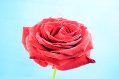 Closeup view of a single beautiful baccara rose Stock Photos