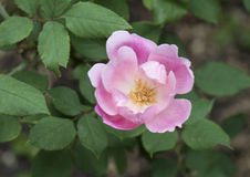 A closeup view of a single pink rose bloom Royalty Free Stock Image