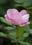 A closeup view of a single pink rose bloom Stock Photos