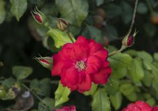 Closeup view single red rose bloom and buds, Sorrento, Italy Stock Image