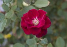Closeup view single red rose bloom, Sorrento, Italy Stock Image