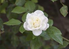 Closeup view single white rose bloom, Sorrento, Italy Stock Photo