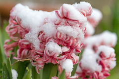 Closeup view of snowy hyacinth flower Stock Images