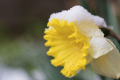 Closeup view of snowy narcissus flower Stock Photography
