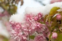 Closeup view of snowy sakura Stock Image