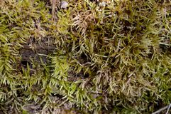 Green Moss Growth Royalty Free Stock Image