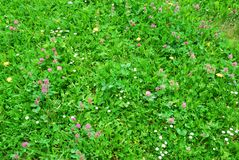 Closeup view of springtime green grass with flowers Royalty Free Stock Image