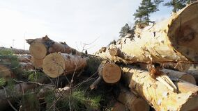 Closeup view of stacked tree trunks which are lying in the conifer forest at summer day