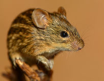 Portrait of striped grass mouse Royalty Free Stock Photo
