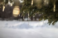 Sparkling Icicles on Northern Evergreen Tree - Light Bottom Royalty Free Stock Photos