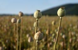 Closeup view of three poppyheads Royalty Free Stock Image