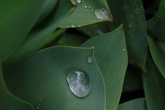 Closeup View from top of Tulip Leaves with water drops. Stock Photos